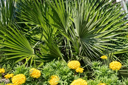 ramification: fluffy palm branches with green leaves for an abstract natural background