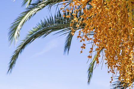 ramification: it is a lot of fruits and a branch of a palm tree closeup against the blue sky also a blank space for the text