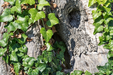 bindweed: green foliage of a bindweed grows on a trunk of an old olive tree closeup and a blank space for the text Stock Photo
