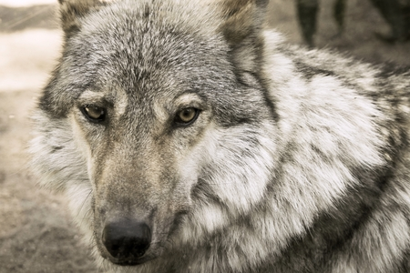 expects: the big fragment of a muzzle of a gray wolf looks forward closeup