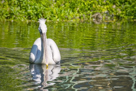 beak: one white pelican with a long beak floats on water from the coast forward
