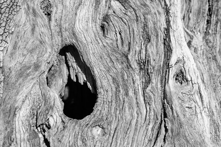 outworn: abstract bumpy texture of a trunk of an old olive tree with cracks and with holes Stock Photo