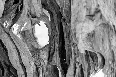 clumsy: abstract bumpy texture of a trunk of an old olive tree with cracks and with holes Stock Photo