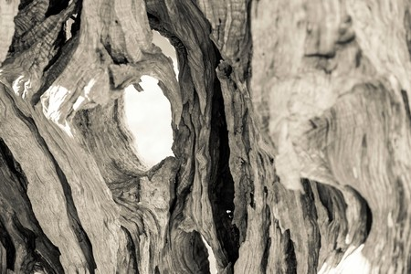 maldestro: Abstract texture irregolare di un tronco di un vecchio albero di ulivo con crepe e con fori Archivio Fotografico