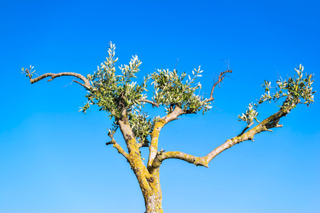 clumsy: old clumsy olive tree with green leaves and fruits against the clear blue sky in beams of a rising sun Stock Photo