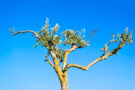 maldestro: vecchio ulivo impacciato con foglie verdi e frutta contro il cielo blu chiaro in travi di un sole che sorge