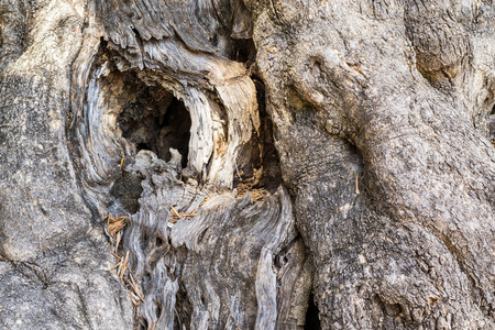 bumpy: abstract texture of a trunk of an olive old tree with a bumpy and rough surface of bark Stock Photo
