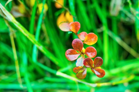 crimson colour: autumn plant with foliage of bright red and crimson color closeup on an abstract indistinct background of a green grass