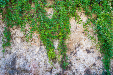 abstractly: plant of a green bindweed on a stone wall abstractly hung and grow as a garland