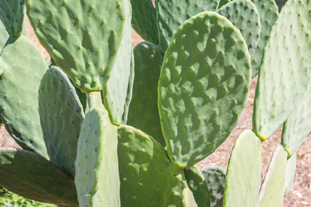 prickles: semicircular and flat big green leaves of a cactus with small prickles for a natural background