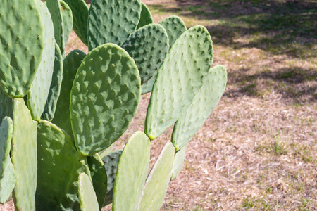 semicircular: semicircular and flat big green leaves of a cactus with small prickles on an indistinct background of an old grass