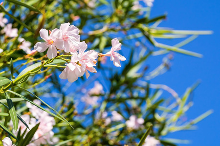 tropical shrub: tropical white pink flowers with green foliage against the empty and clear blue sky Stock Photo