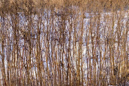 thickets: thickets of a dry old grass and plants against white snow for abstract natural backgrounds and for wallpaper