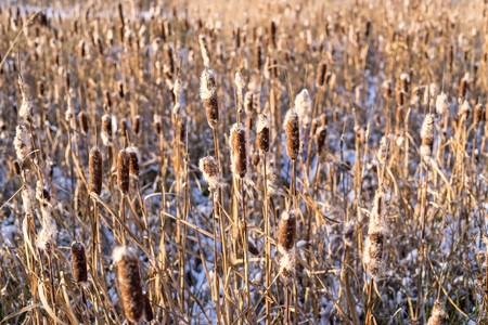 thickets: thickets of a cane or reed with the snow in sunlight for abstract natural backgrounds and for wallpaper