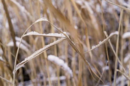 thickets: thickets of a cane or reed with the snow for abstract natural backgrounds and for wallpaper