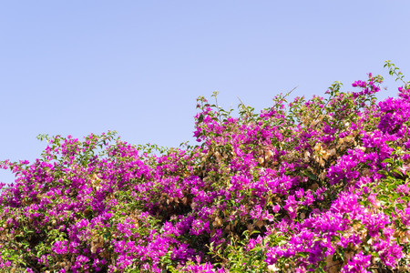 crimson colour: bush with small bright flowers of crimson color against the clear blue sky