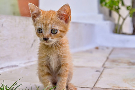 carroty: rufous or carroty little fluffy kitten sitting closeup Stock Photo