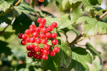 guelder rose berry: bunch of bright red berries of a viburnum against green leaves Stock Photo