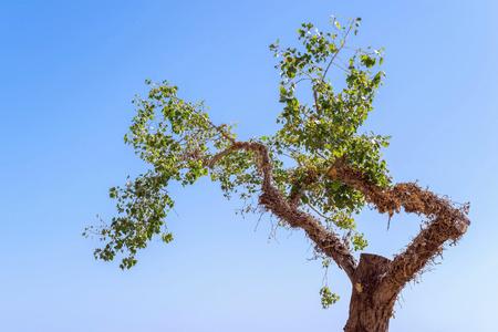 maldestro: vecchio albero goffo con fogliame verde separatamente contro il cielo blu