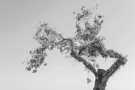 clumsy: old clumsy tree with foliage separately against the sky of monochrome tone Stock Photo