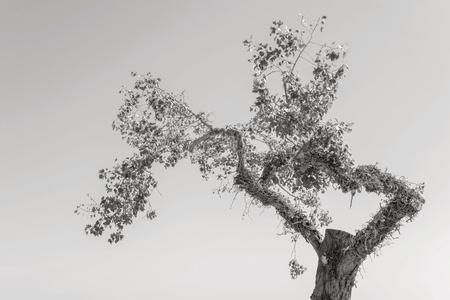 maldestro: vecchio albero goffo con fogliame separatamente contro il cielo di tono monocromatico