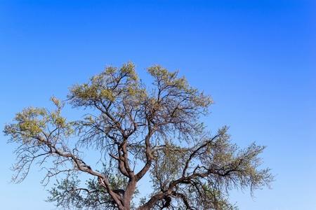 maldestro: l'albero della curva branchy isolato con foglie contro il cielo blu