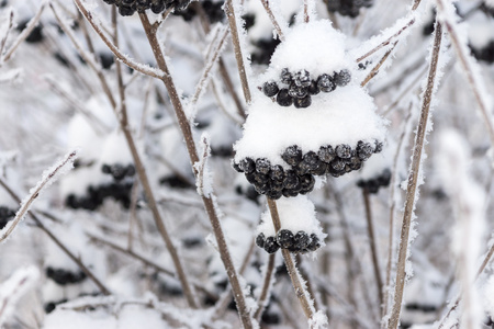 fascicule: bushes of winter berry of a black mountain ash with brilliant white snow or hoarfrost
