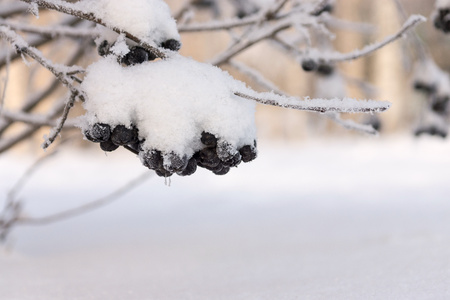 fascicule: bushes of winter tuft of a black mountain ash with brilliant white snow or hoarfrost