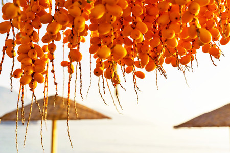 date palm tree: bunch of amber fruits of a date palm tree closeup on an indistinct background of a natural landscape with beach umbrellas
