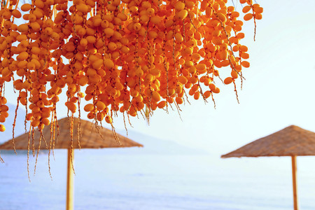 date palm: bunch of amber fruits of a date palm tree closeup on an indistinct background of a natural landscape with beach umbrellas
