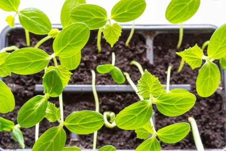 hotbed: green seedling of a young plant of an agriculture with big leaves closeup