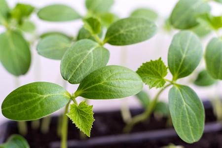 hotbed: green shoots of a young plant of an agriculture with big leaves closeup