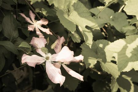 pale color: one flower of a clematis of pale color against green leaves of a bush on old photo Stock Photo