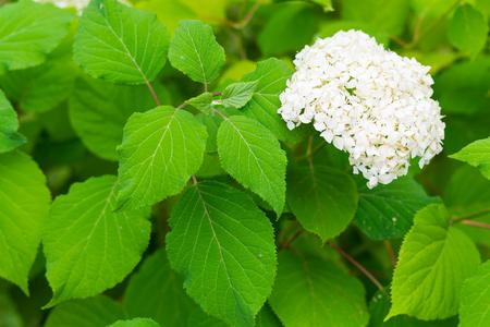 Hydrangea bush with one bunch of white flowers and big green stock hydrangea bush with one bunch of white flowers and big green leaves for a natural background mightylinksfo Image collections