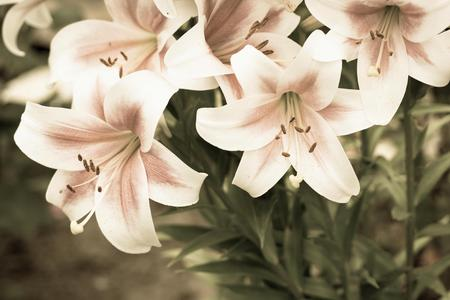 pale color: big natural bunch of flowers of a lily closeup of pale color with green leaves on old photo