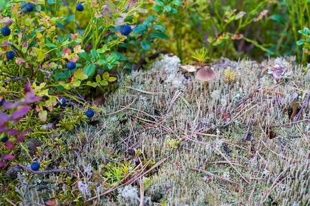 hummock: wild autumn landscape closeup with berries on a bush of bilberry and a small toadstool or a mushroom on a hummock
