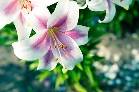 big flower: one big flower of a lily closeup of white and pink color with green leaves Stock Photo
