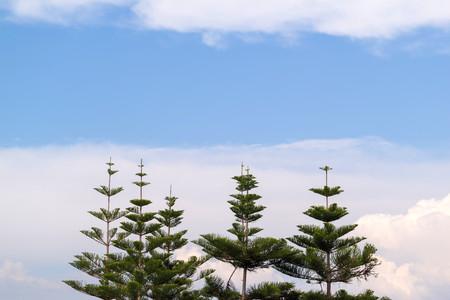 small coniferous trees on a big background of the sky