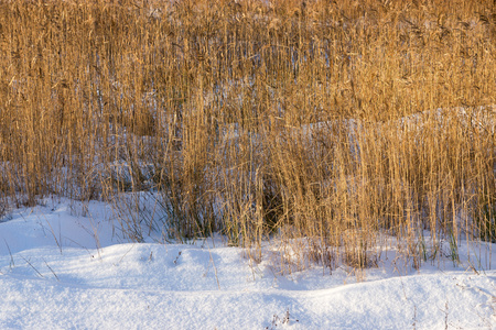 snowdrifts: winter landscape from snowdrifts and an old dry cane and a sedge