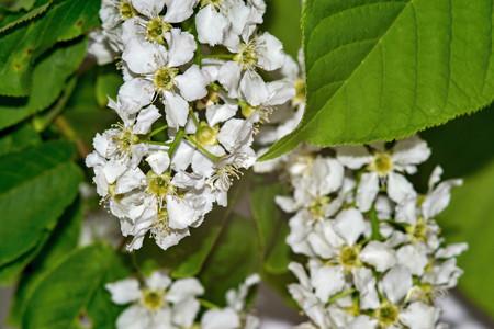 bush of the blossoming bird cherry closeup
