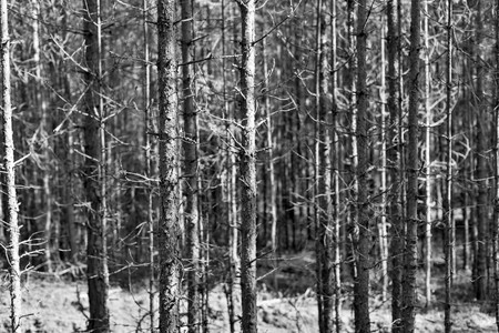 natural abstract background or landscape of the old wood with dry trees a closeup of monochrome tone