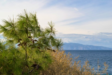 closeup a green part of a pine or coniferous bush with cones on an indistinct background of sea water and the horizon