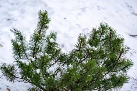 green bush of a pine closeup on an indistinct background of white snow Фото со стока