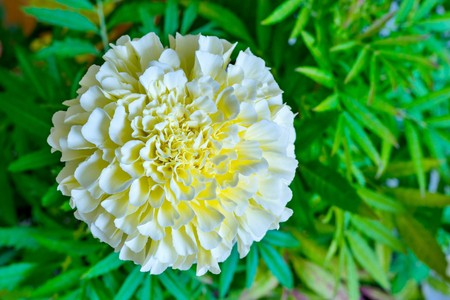 one isolated flower of an aster or tagetes of white color closeup on an indistinct green background