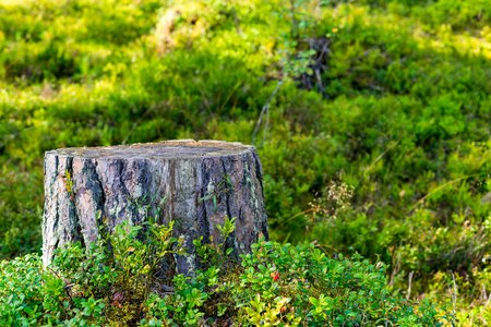 One stump of the cut tree closeup in the foreground against the background of a green grass