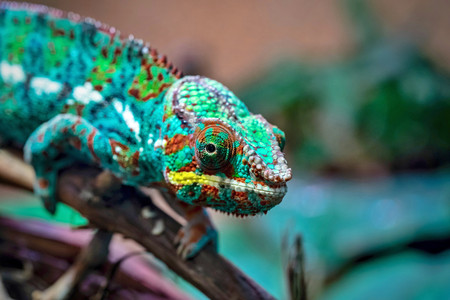 the spotty lizard a chameleon with a motley color of corrugated skin closeup in the foreground creeps on paws and looks opened by an eye