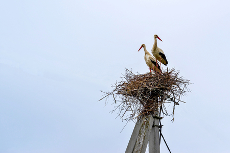 storks in couple standing two big birds in a nest on a concrete column and against the background of the empty sky Stok Fotoğraf