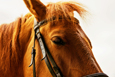 part of the big head of a horse in a harness a closeup of brown color Stock Photo