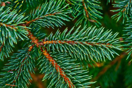 Green coniferous branch spruce or pine with needles closeup for abstract natural background 写真素材