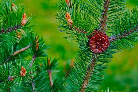 Large coniferous branch with green needles and with one pine bumps in the foreground Stock fotó